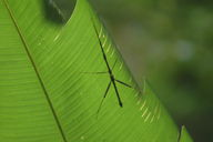 Stick insect in the Monteverde Cloud Forest.