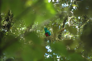The Resplendent Quetzal, national bird of Guatemala that also lends its name to that country's currency, surveys its nest as tourists lie waiting to catch a glimpse.