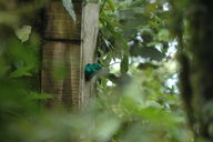 The male Quetzal nesting inside a man-made box in the Monteverde Cloud Forest sticks his head out to see what's going on.  The bird's plumage is so large that when he turns around his tail feathers protrude from the opening.