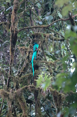 The male Resplendent Quetzal surveys his nest from a nearby tree.