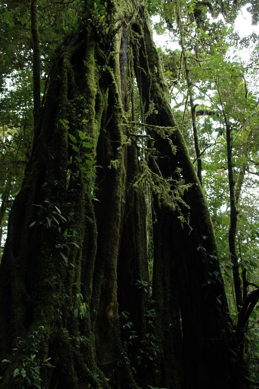 Strangler figs grow up and around the outsides of trees in the cloud forest.  When the tree inside dies, the figs sometimes live on, creating a hollow structure inside.