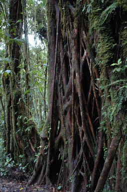 The cloud forest was full of impressive strangler fig structures.