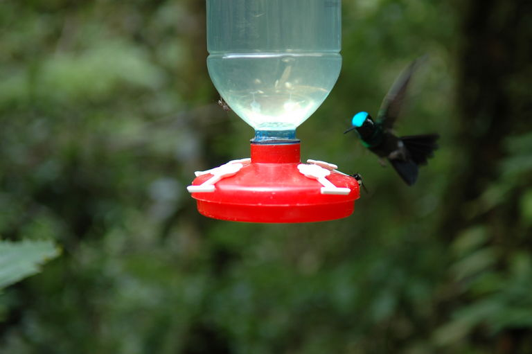 The iridescent head of this hummingbird changes color depending on the angle from which it is viewed.