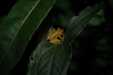 All sorts of creatures can be found in the cloud forest at night, including this little frog.