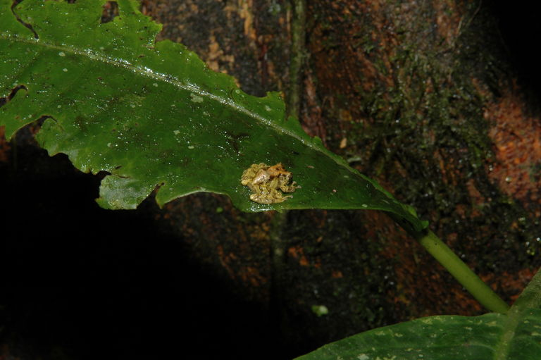 A wee frog in the cloud forest.