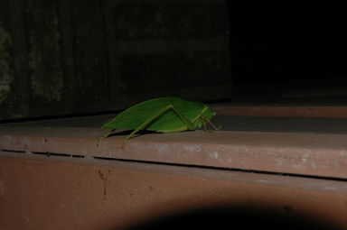 Katydid on the bathroom wall.