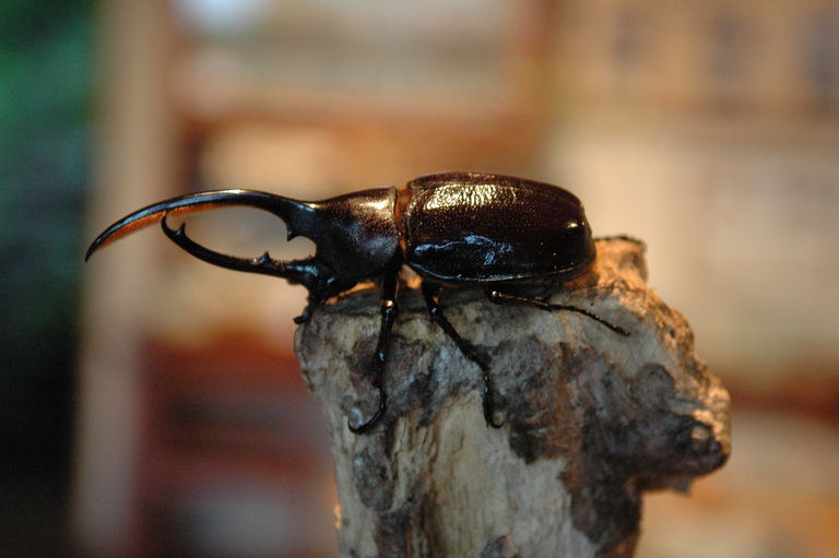 The mighty hercules beetle awaits a challenger for master of the partial-log prop.