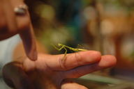 The praying mantis defends its territory against the giant fighting finger.