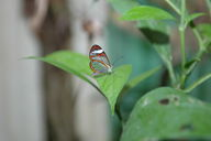 You can see through the glasswing butterfly.
