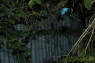 An elusive glimpse of the morpho butterfly.