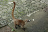Looks like a coati to me, but supposedly it's not.  He was hanging around Sugar Beach Hotel looking for food.